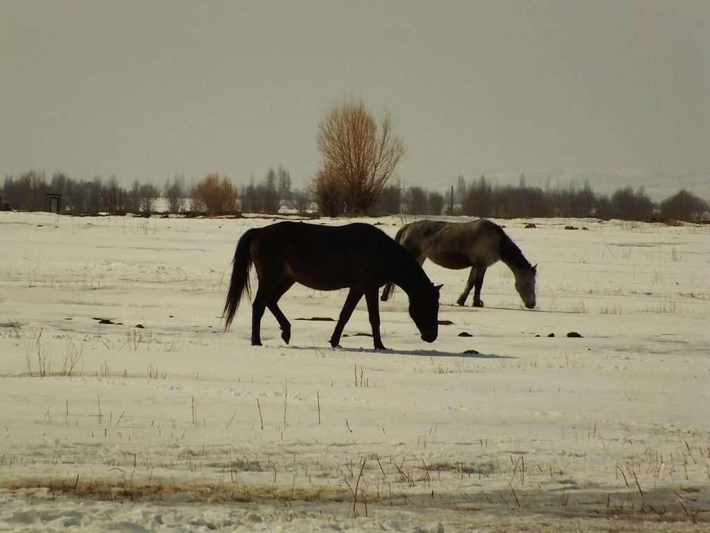 Kırgızistan Atları