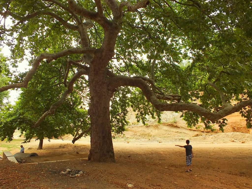 Heybetli Çınar Ağacı