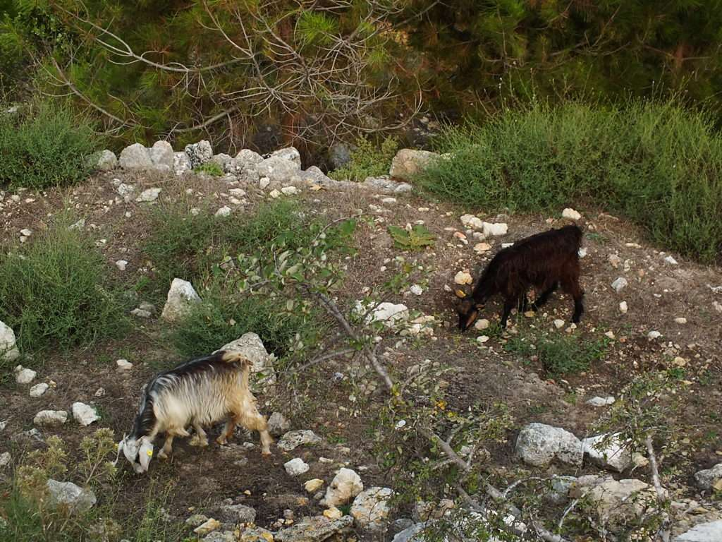 Kale Çıkışındaki Keçiler