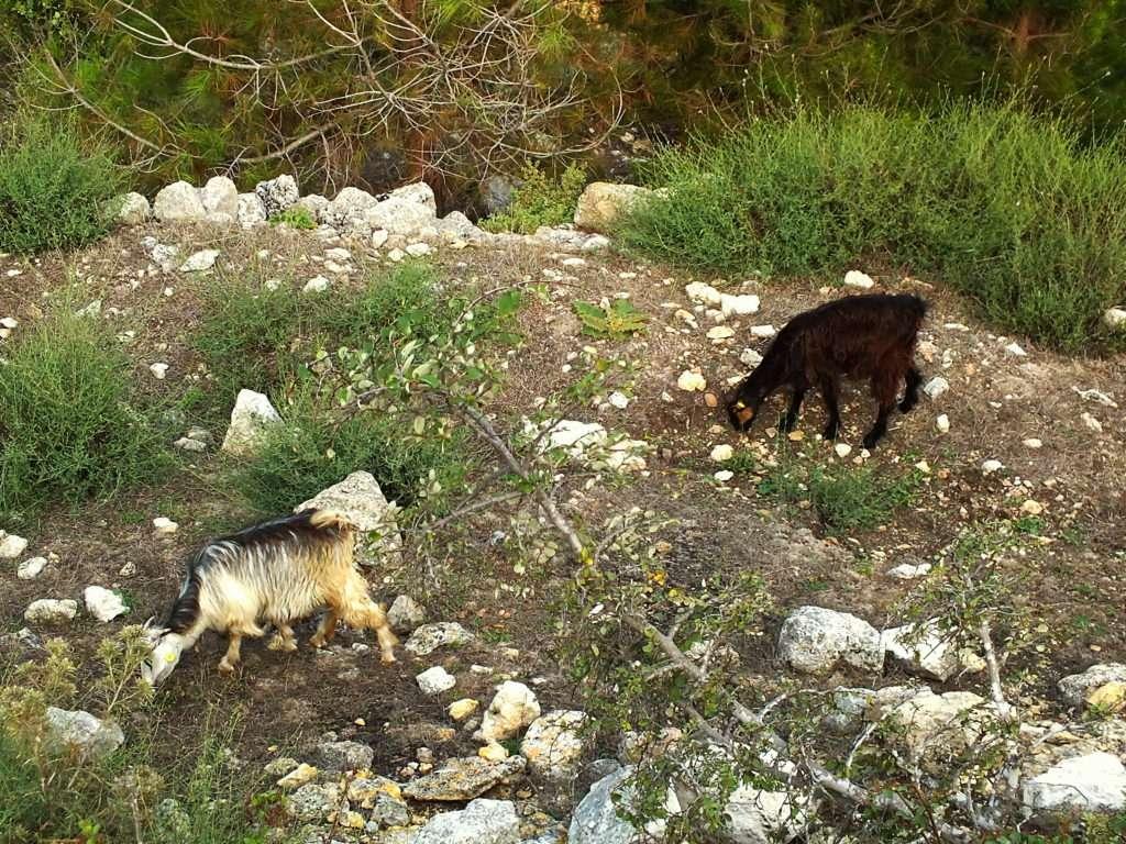 Toroslarda Yüksek Kayalıklarda Gezen Keçiler Manavşa Kalesi
