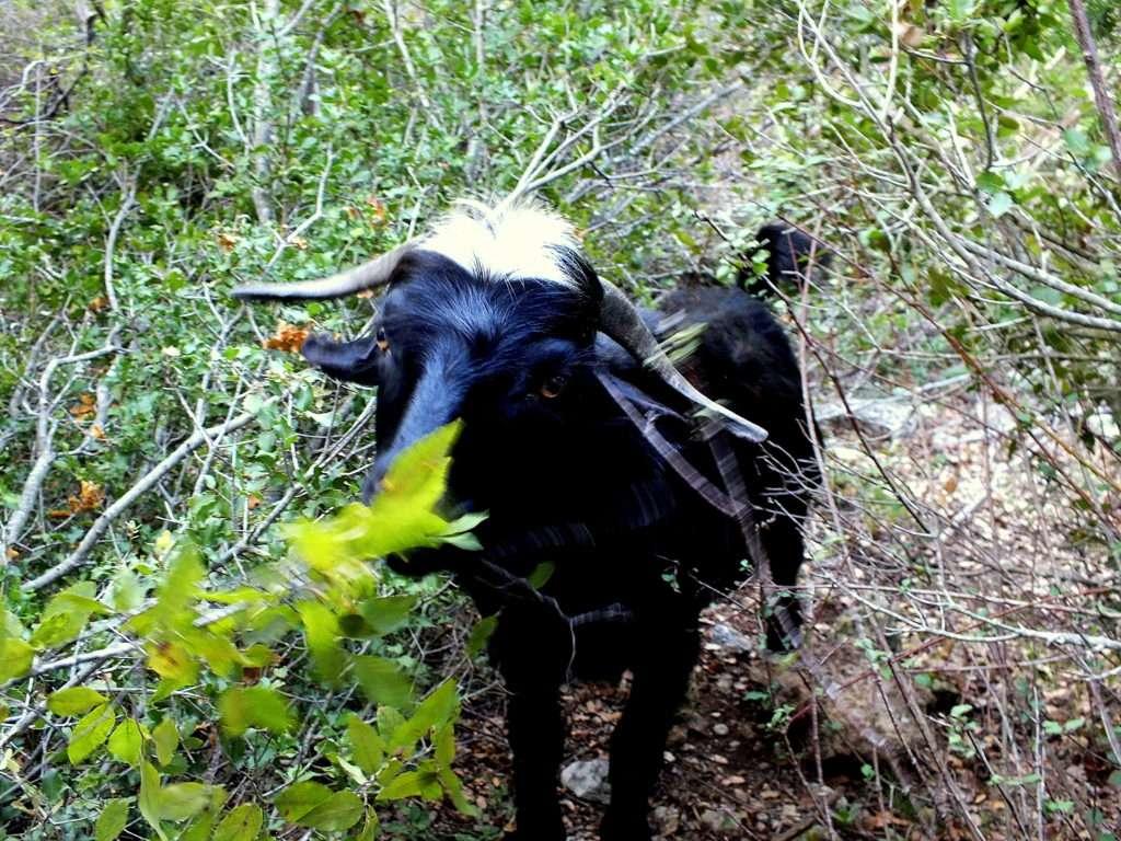 Ormanda Yaprak Yiyen Bir Keçi Manavşa Kalesi