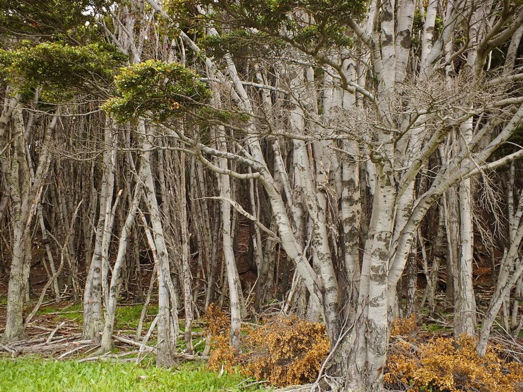 Patagonya Ormanları